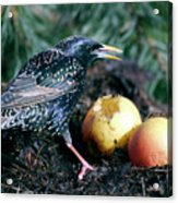 European Starling Acrylic Print
