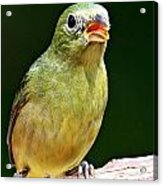 Female Painted Bunting Acrylic Print