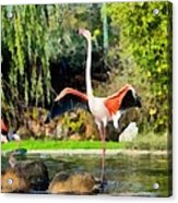 Greater Flamingos Acrylic Print
