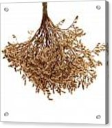 Hanging Dried Flowers Bunch Acrylic Print