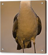 Heermanns Gull Acrylic Print