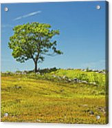 Lone Tree With Blue Sky In Blueberry Field Maine Acrylic Print