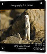 Long-tailed Weasel Acrylic Print