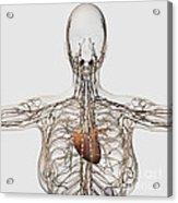 Medical Illustration Of Female Acrylic Print