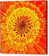 Orange Gerber Acrylic Print