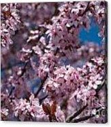 Plum Tree Flowers Acrylic Print