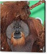 Portrait Of A Large Male Orangutan Acrylic Print