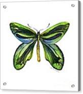 6 Queen Alexandra Butterfly Acrylic Print
