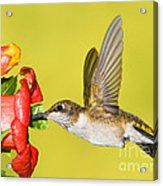 Ruby-throated Hummingbird Female Acrylic Print