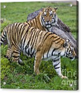Siberian Tigers, China Acrylic Print