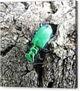 6 Spotted Tiger Beetle Acrylic Print