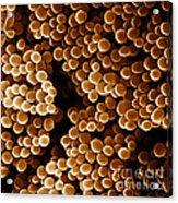 Staphylococcus Aureus, Sem Acrylic Print