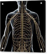 The Nerves Of The Upper Body Acrylic Print