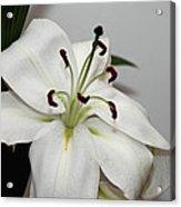 White Lily In Macro Acrylic Print