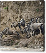 Wildebeests Crossing Mara River, Kenya Acrylic Print