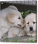 Yellow Labrador Retriever Puppies Acrylic Print by Linda Freshwaters Arndt