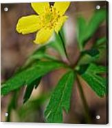 Yellow Wood Anemone Acrylic Print