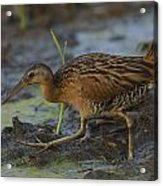 King Rail In A Wetland Acrylic Print