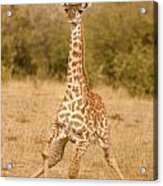 6310 Baby Masai Giraffe Getting Up Acrylic Print