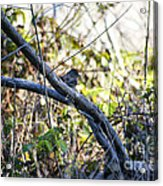 641 Cf Two Branches Acrylic Print