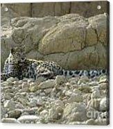 Arabian Leopard Panthera Pardus Acrylic Print