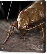 Bedbug Cimex Lectularius Acrylic Print