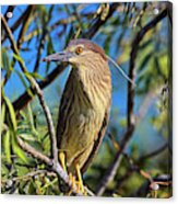Black-crowned Night Heron (nycticorax Acrylic Print