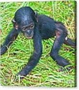Bonobo Baby Acrylic Print