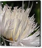 Centaurea Named The Bride Acrylic Print