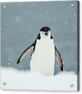 Chinstrap Penguin  Pygoscelis Acrylic Print