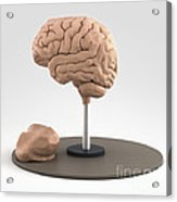 Clay Model Of Brain Acrylic Print