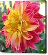 Dahlia Named Brian's Sun Acrylic Print