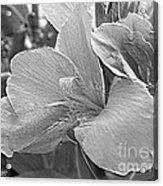 Dwarf Canna Lily Named Corsica Acrylic Print