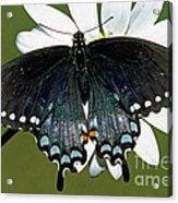 Eastern Black Swallowtail Acrylic Print