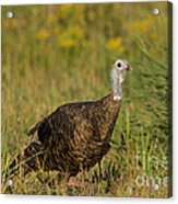 Eastern Wild Turkey Acrylic Print by Linda Freshwaters Arndt