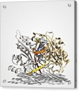 Ecorv Restriction Enzyme Molecule Acrylic Print by Science Photo Library