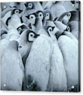 Emperor Penguin Aptenodytes Forsteri Acrylic Print
