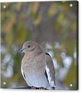 Female White Wing Dove Acrylic Print