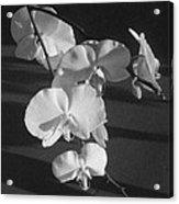 7 Flower Orchid Acrylic Print