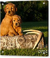Golden Retriever Puppies Acrylic Print