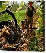Harvesting In A Vineyard Acrylic Print