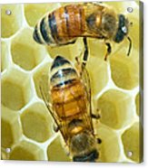Honey Bees In Hive Acrylic Print