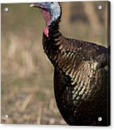 Jake Eastern Wild Turkey Acrylic Print