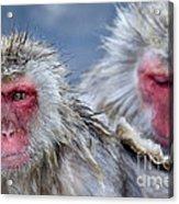 Japanese Macaques Acrylic Print