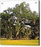 Louisiana Live Oak Tree Acrylic Print