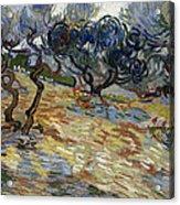 Olive Trees Acrylic Print