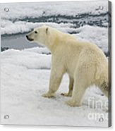 Polar Bear Crossing Ice Floe Acrylic Print