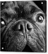 Portrait Of Pug Bulldog Mix Dog Acrylic Print