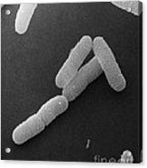 Pseudomonas Aeruginosa, Sem Acrylic Print