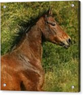 The Bay Horse Acrylic Print